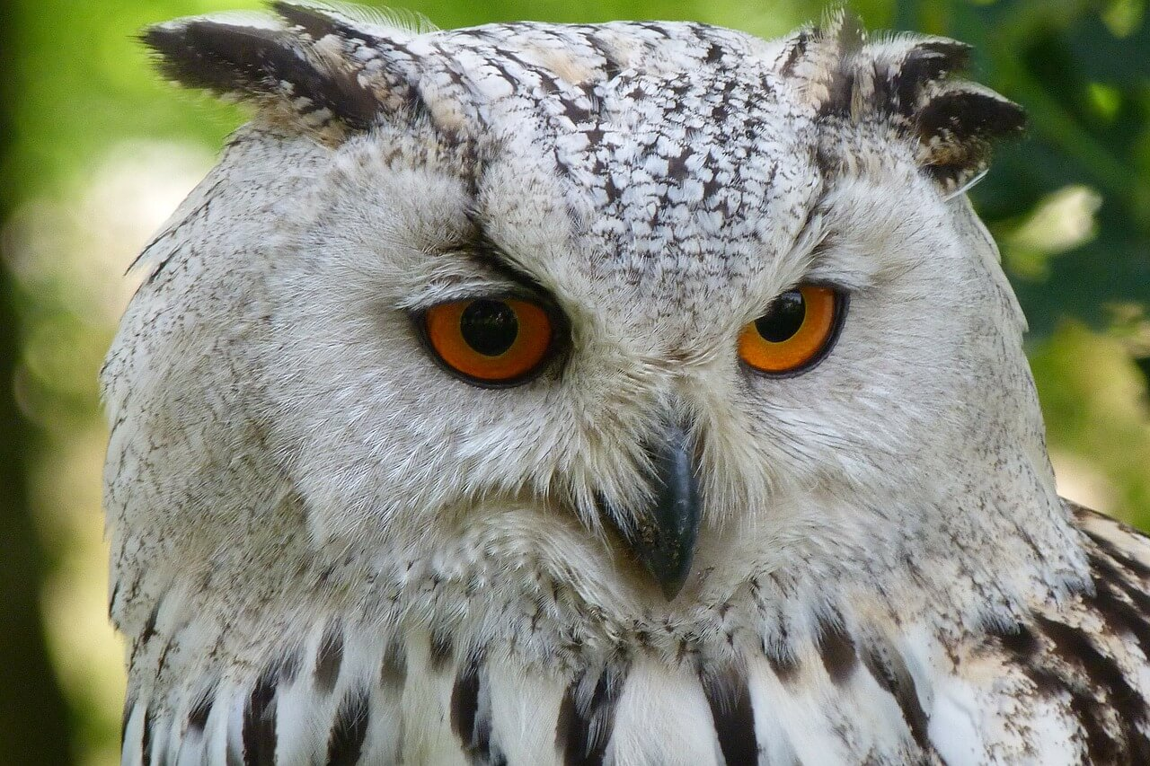 Getting a Pet Owl