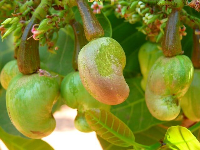 cashew nut cultivation