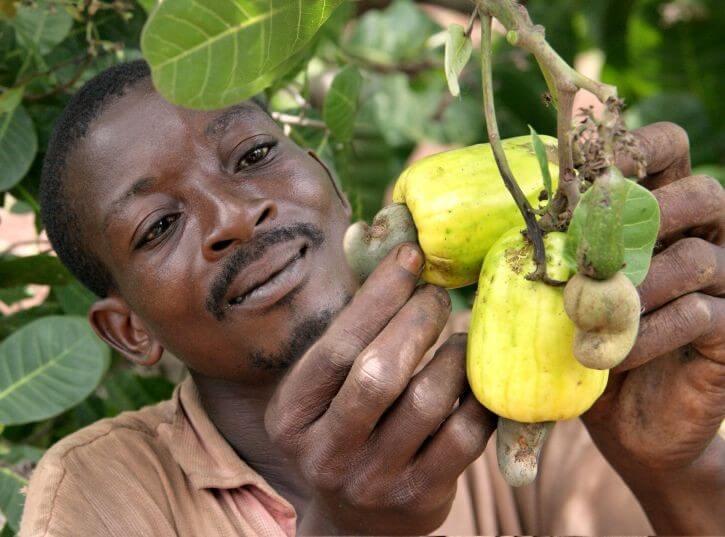 starting a cashew plantation