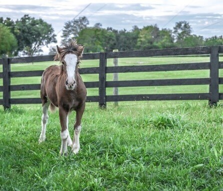 miniature horse facts