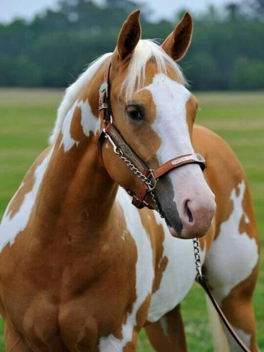 Things to know about American Paint Horse