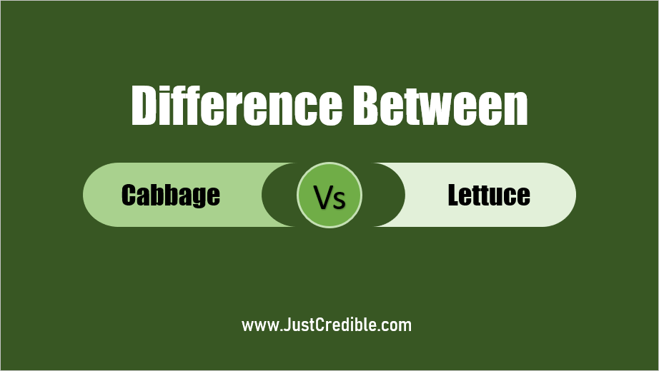 Difference Between Cabbage and Lettuce