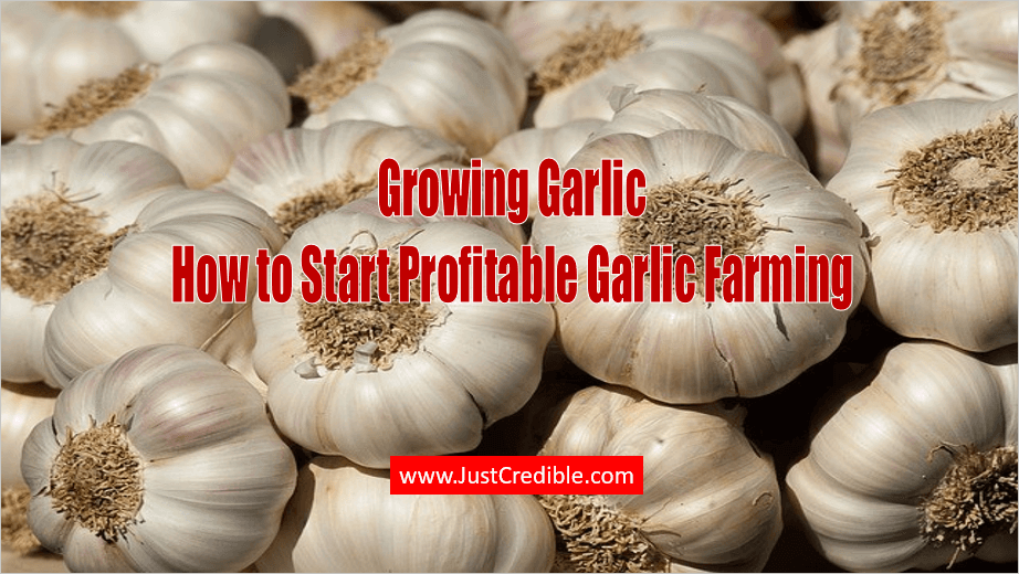 Garlic Farming Business