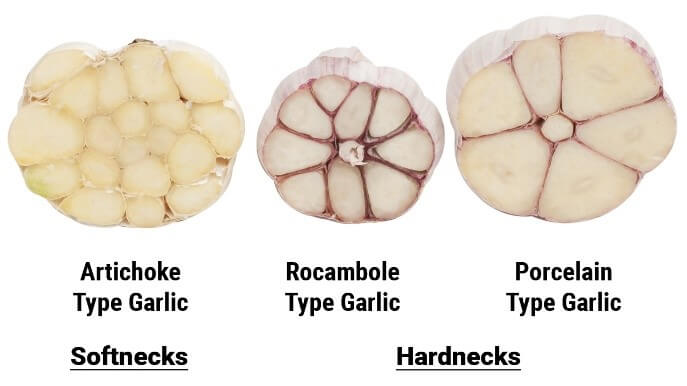 hardneck garlic and softneck garlic