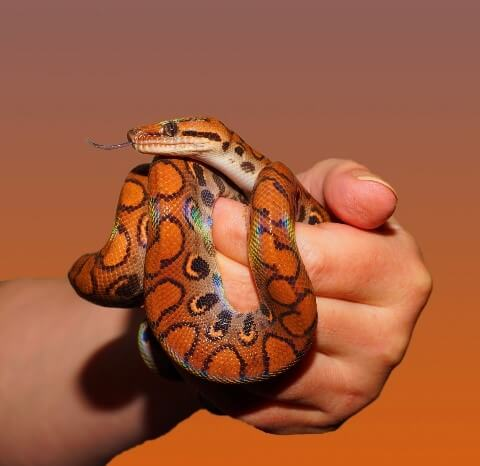 snakes you can have as pets