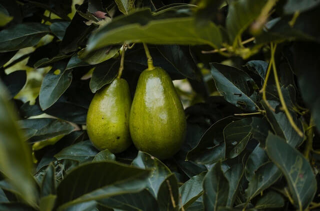 where did avocados originate from