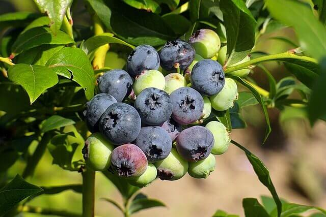 What is Bilberry