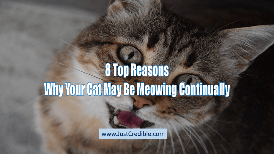 Why Your Cat May Be Meowing Continually