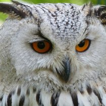 Owls as Pets: Things to Know Before Getting a Pet Owl