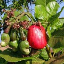 Cashews Cultivation: How to Start Cashew Farming